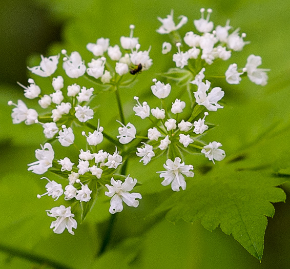flower of Osmorhiza longistylis, Aniseroot, Smooth Sweet Cicely, Longstyle Sweet-cicely