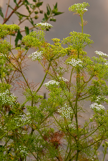 image of Ptilimnium capillaceum, Eastern Bishopweed, Atlantic Bishopweed, Atlantic Mock Bishop's Weed