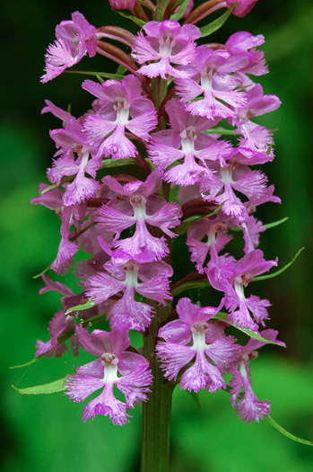 image of Platanthera psycodes, Small Purple Fringed Orchid, Butterfly Orchid