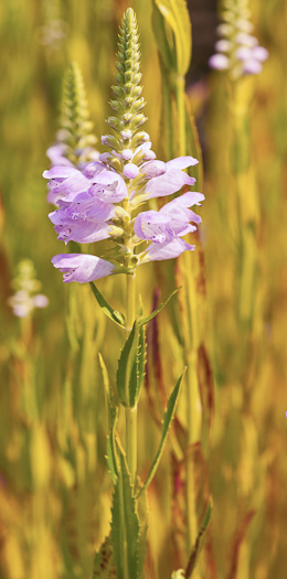 flower of Physostegia virginiana ssp. virginiana, Northern Obedient-plant, False Dragonhead, Obedient-plant