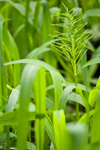 image of Paspalum fluitans, Water Paspalum, Horsetail Crowngrass
