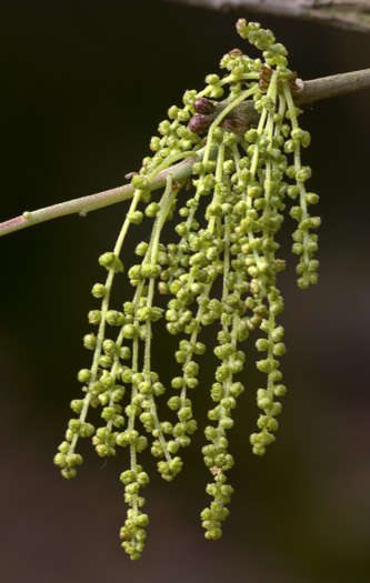 flower of Quercus virginiana, Live Oak
