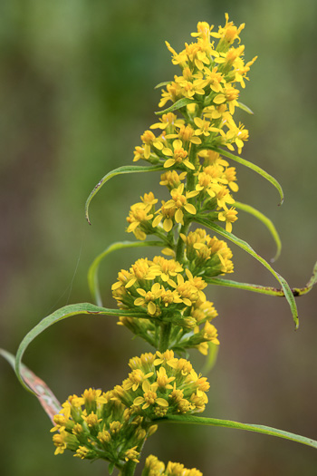 image of Solidago curtisii, Curtis' Goldenrod