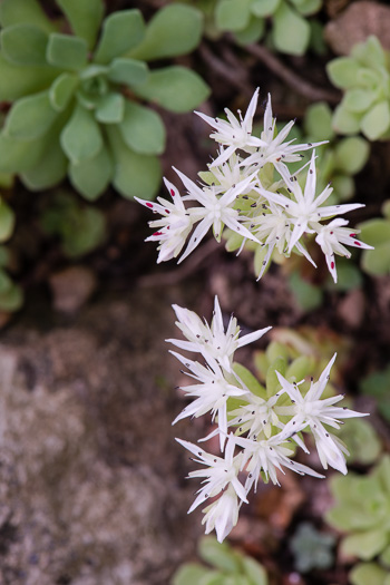 flower of Sedum glaucophyllum, Cliff Stonecrop