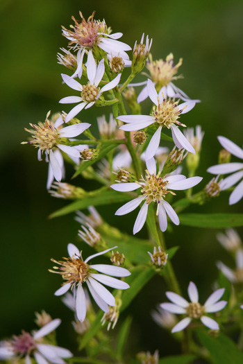 flower of Symphyotrichum lowrieanum, Smooth Heartleaf Aster, Lowrie's Blue Wood Aster, Lowrie's Aster