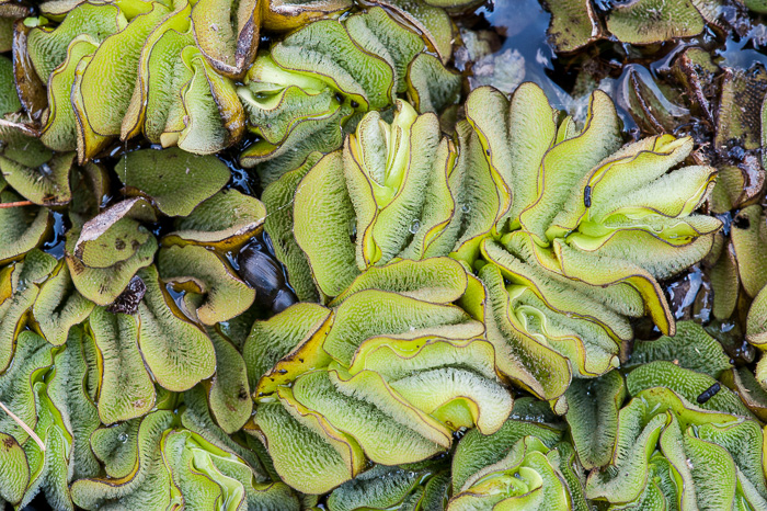 image of Salvinia molesta, Giant Salvinia