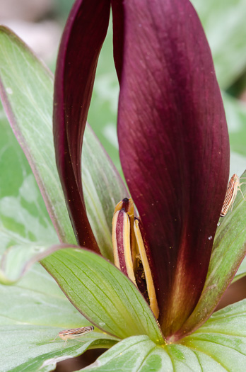 flower of Trillium cuneatum, Little Sweet Betsy, Purple Toadshade
