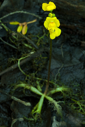 flower of Utricularia radiata, Small Swollen Bladderwort, Floating Bladderwort, little floating bladderwort