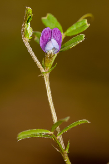 image of Vicia lathyroides, Spring Vetch