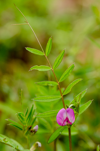 image of Vicia sativa ssp. nigra, Narrowleaf Vetch