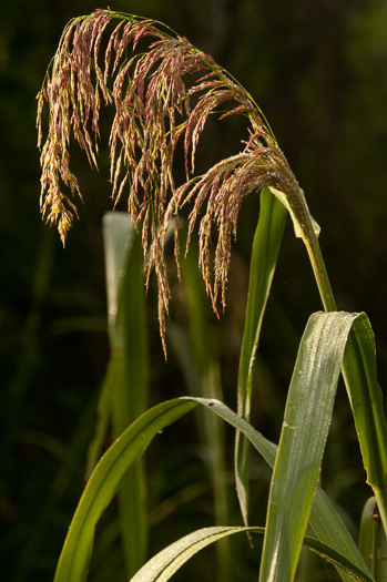 glabrous: Zizaniopsis miliacea, Southern Wild-rice, Water-millet, Giant Cutgrass