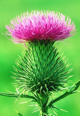 spines: Cirsium vulgare, Bull Thistle