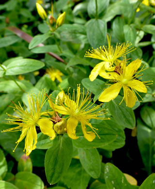 image of Hypericum mitchellianum, Blue Ridge St. Johnswort