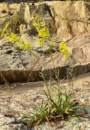 image of Solidago plumosa, Yadkin River Goldenrod