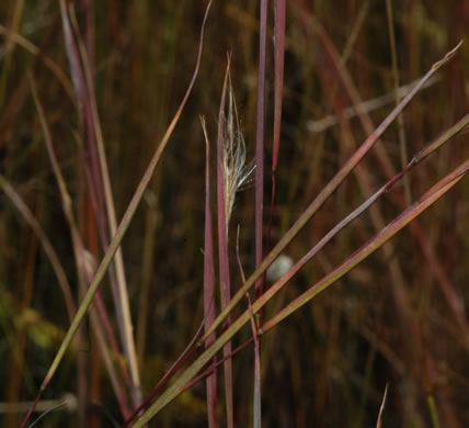 image of Andropogon perangustatus, Narrow-leaved Bluestem