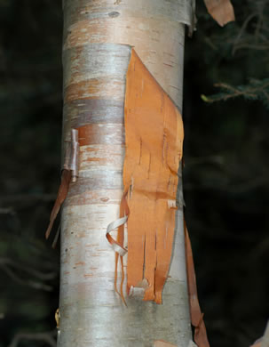 image of Betula cordifolia, Mountain Paper Birch