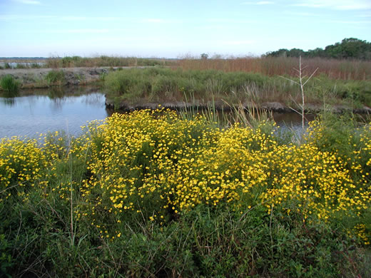 image of Bidens mitis, Coastal Plain Tickseed-sunflower