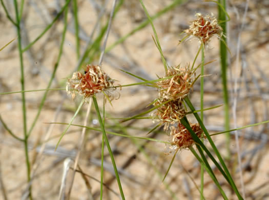 image of Bulbostylis warei, Ware's Hairsedge