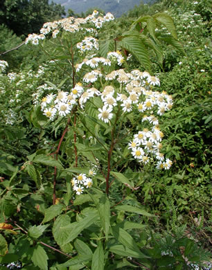 image of Doellingeria umbellata, Tall Flat-topped White Aster, Tall Whitetop Aster