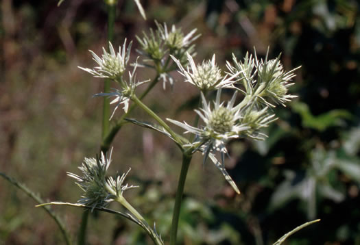 flower of Eryngium aquaticum, Marsh Eryngo