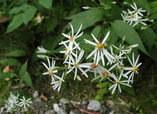 flower of Eurybia chlorolepis, Blue Ridge White Heart-leaved Aster, Mountain Wood-aster