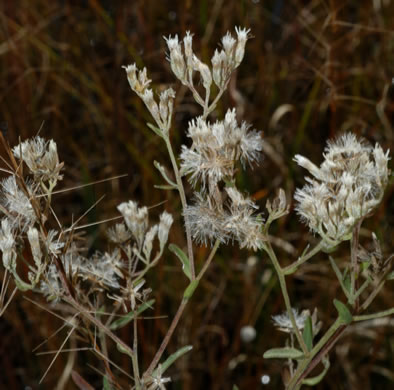 image of Eupatorium glaucescens, Wedgeleaf Eupatorium, Broadleaf Bushy Eupatorium