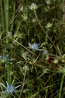 flower of Eryngium integrifolium, Savanna Eryngo, Blueflower Eryngo