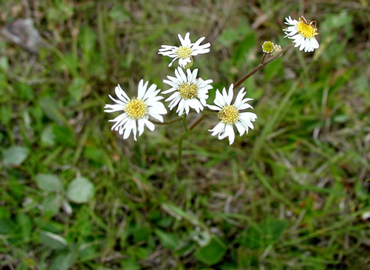 flower of Erigeron vernus, Whitetop Fleabane, Savanna Daisy Fleabane, Early Whitetop Fleabane