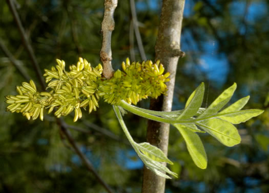 flower of Fraxinus americana, White Ash, American Ash