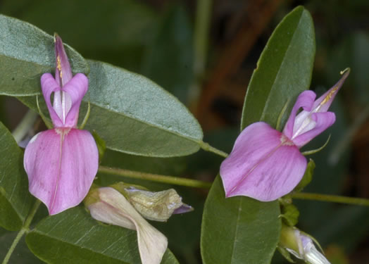 image of Galactia regularis, Downy Milkpea, Hairy Milkpea, Twining Milkpea
