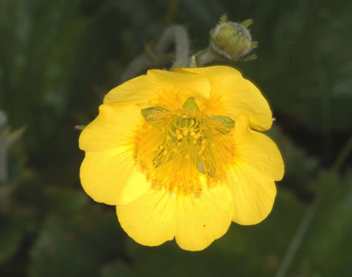 flower of Geum radiatum, Mountain Avens, Appalachian Avens, Spreading Avens, Cliff Avens