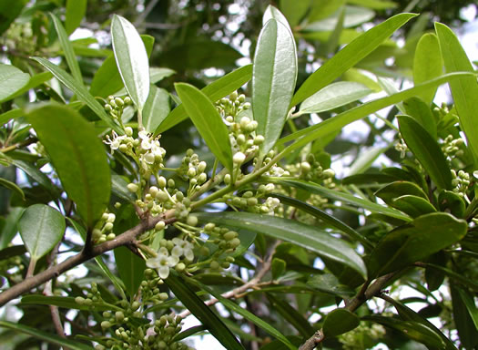 image of Ilex myrtifolia, Myrtle Holly, Myrtle-leaved Holly