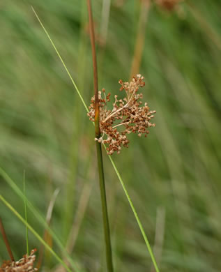 flower of Juncus effusus ssp. solutus, Soft Rush, Common Rush