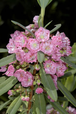 flower of Kalmia carolina, Southern Sheepkill, Carolina Wicky, Carolina Sheep-laurel, Carolina Bog Myrtle