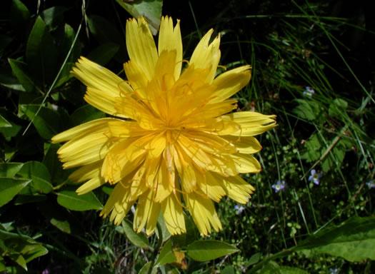 Namethatplant dandelions and dandelion like species krigia montana krigia montana krigia montana flower heads bright yellow mightylinksfo