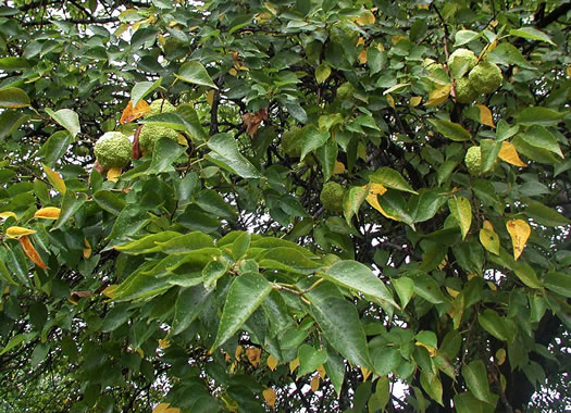 image of Maclura pomifera, Osage-orange, Hedge-apple, Bow-wood