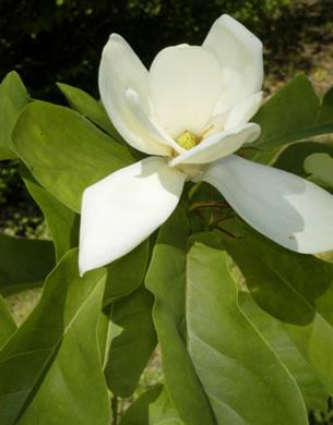 Namethatplantnet South Carolinas Native Magnolias