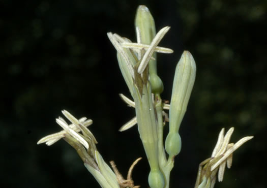 anther: Manfreda virginica, Manfreda virginica, Agave virginica