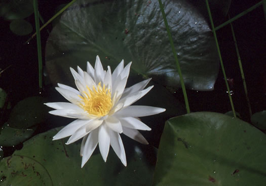 flower of Nymphaea odorata ssp. odorata, Fragrant White Water-lily, American Water-lily, Sweet Water-lily