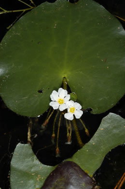 Nymphoides aquatica, Big Floating Heart, Banana Floating Heart