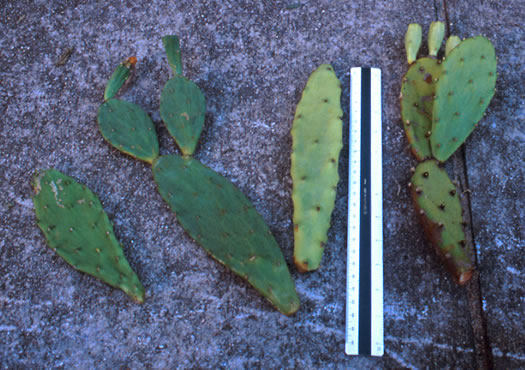 image of Opuntia stricta var. stricta, Coastal Prickly Pear, Shell Midden Prickly-pear