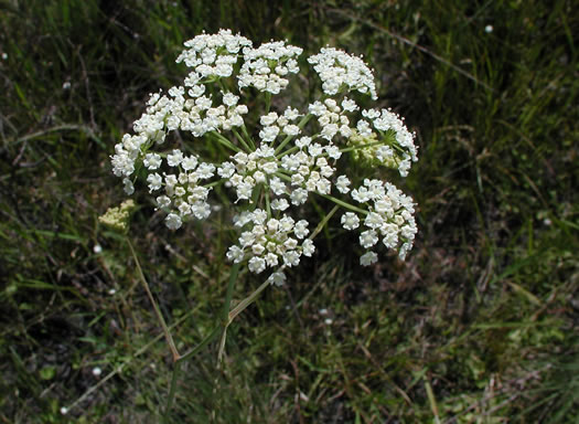 image of Tiedemannia canbyi, Canby's Cowbane, Canby's Dropwort