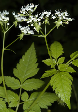 Osmorhiza longistylis, Anise-root, Smooth Sweet Cicely