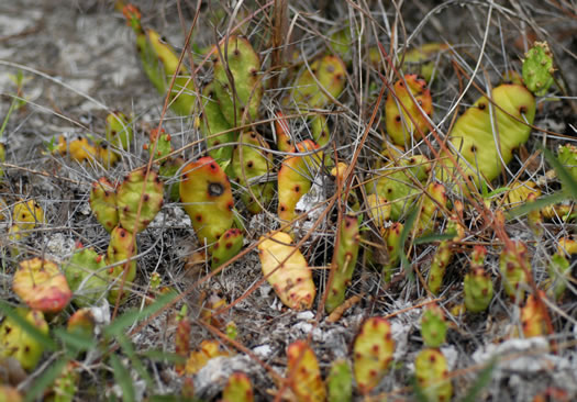 image of Opuntia drummondii, Dune Prickly Pear, Dune Devil-joint, Devils-joint Cactus