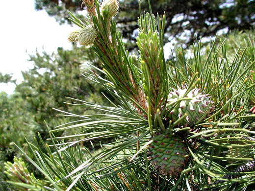 image of Pinus pungens, Table Mountain Pine, Burr Pine, Hickory Pine