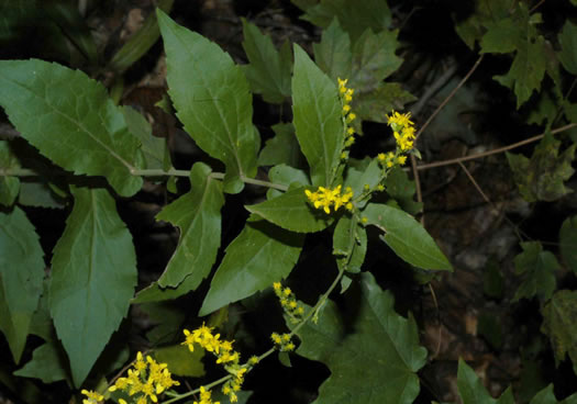 image of Solidago auriculata, Eared Goldenrod