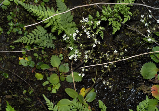 image of Micranthes careyana, Carey's Saxifrage
