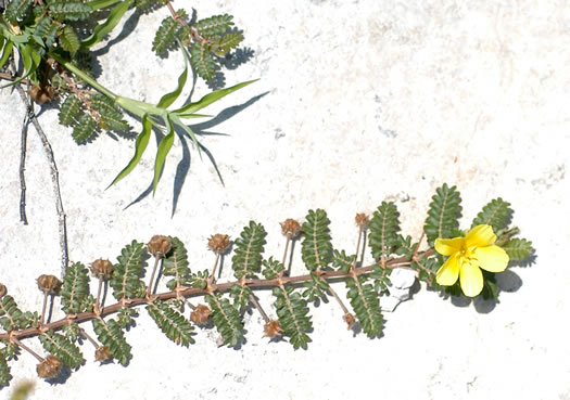 image of Tribulus cistoides