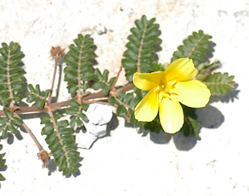 flower of Tribulus cistoides, Jamaica Feverplant, Burr-nut