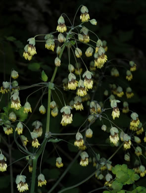 image of Thalictrum dioicum, Early Meadow-rue